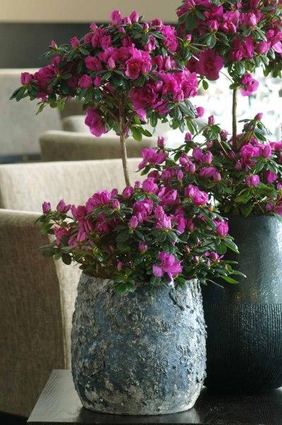 Azalee: Pflanze des Monats Dezember - VLAM Pers